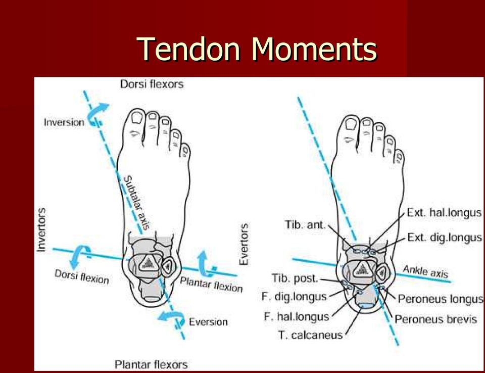 Foot and Ankle Tendon Pathology - PDF