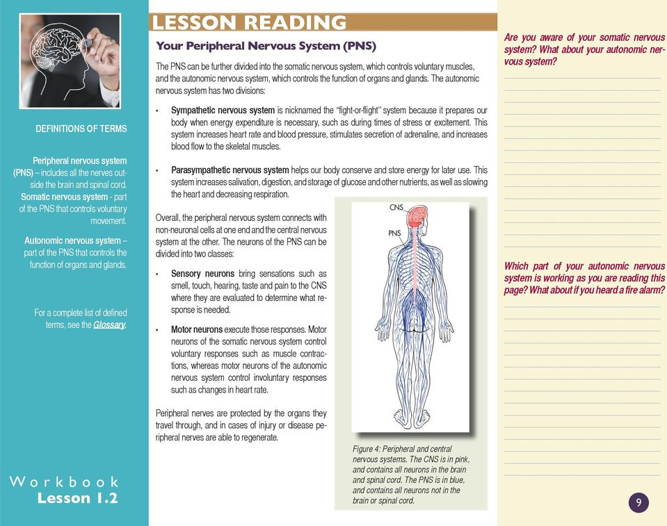 LESSON READING Your Peripheral Nervous System (PNS) The PNS can be further divided into the somatic nervous system, which controls voluntary muscles, and the autonomic nervous system, which controls