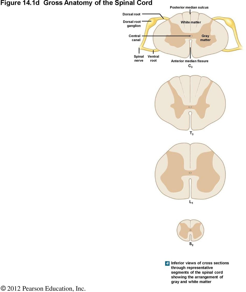 The Nervous System The Spinal Cord And Spinal Nerves Pdf