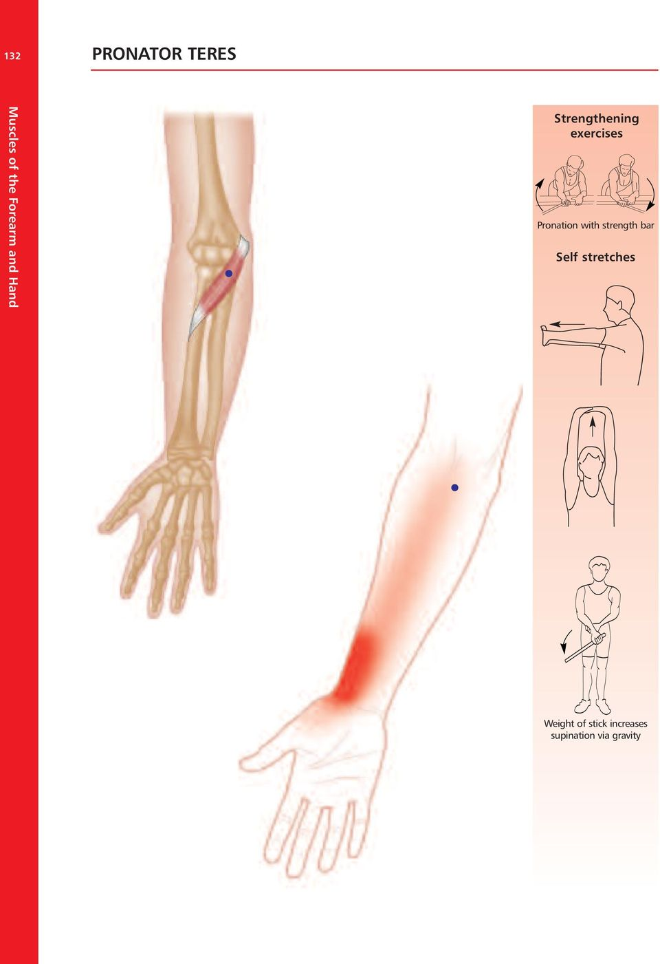 Muscles Of The Forearm And Hand Pdf