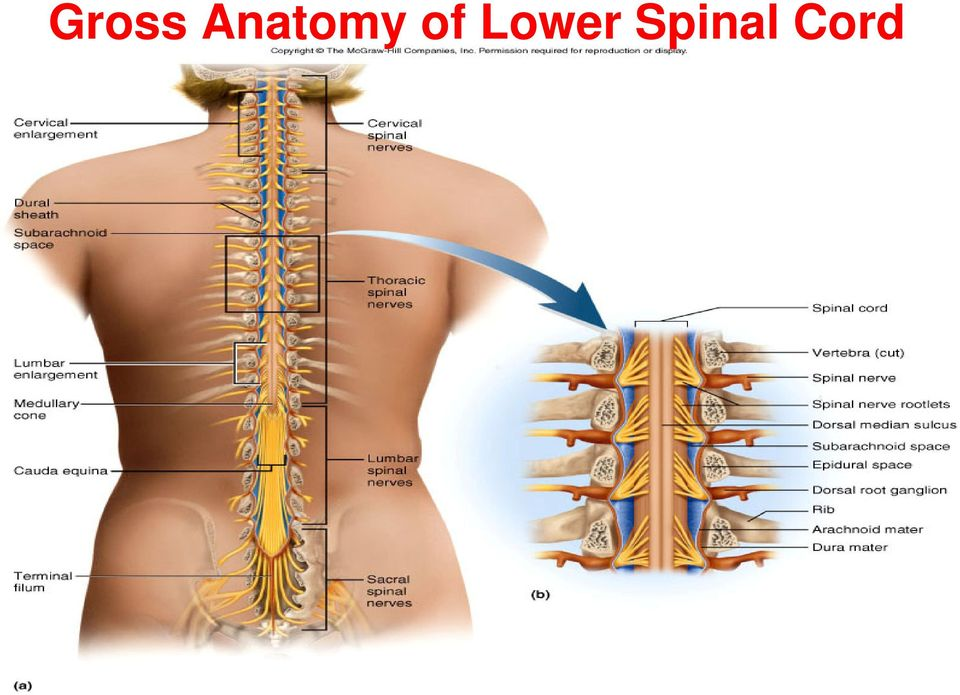 Human Anatomy Physiology Spinal Cord Spinal Nerves And Somatic