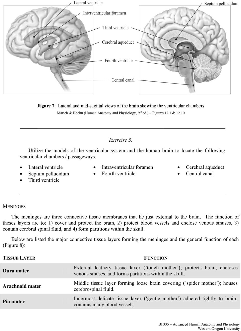 Adapted From Human Anatomy Physiology By Marieb And Hoehn 9 Th Ed