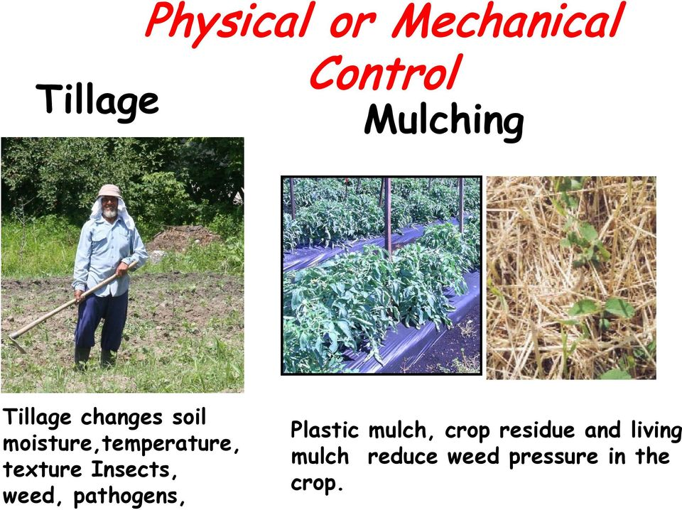 Insects, weed, pathogens, Plastic mulch, crop