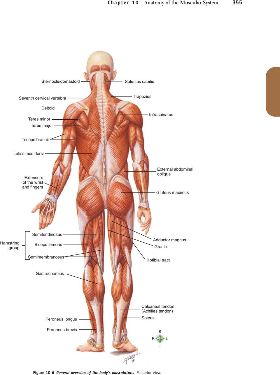 Anatomy of the Muscular System - PDF