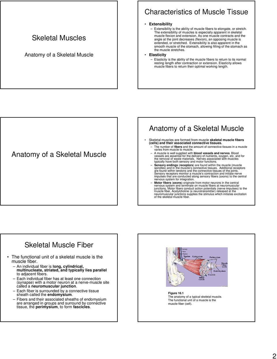 Muscles and Contraction - PDF
