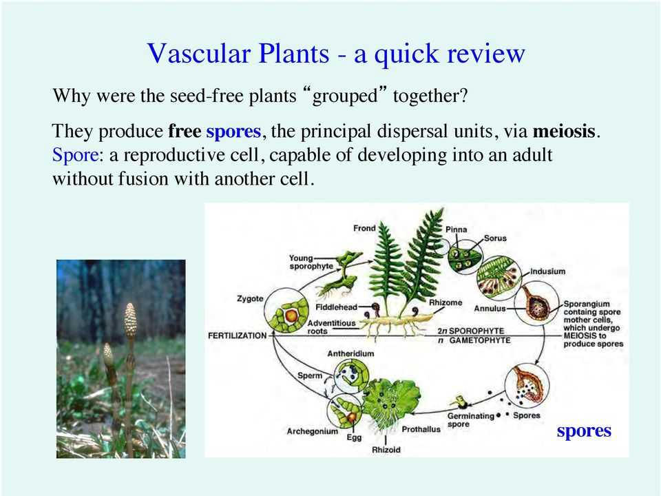 They produce free spores, the principal dispersal units, via