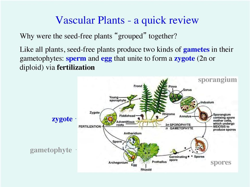 Like all plants, seed-free plants produce two kinds of gametes in