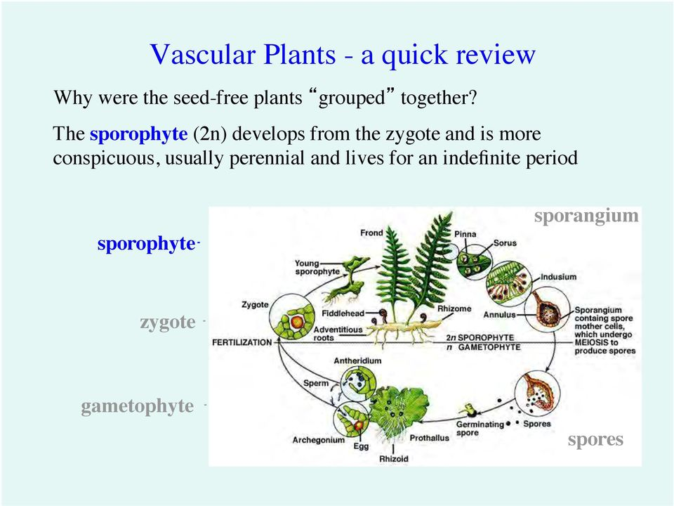 The sporophyte (2n) develops from the zygote and is more