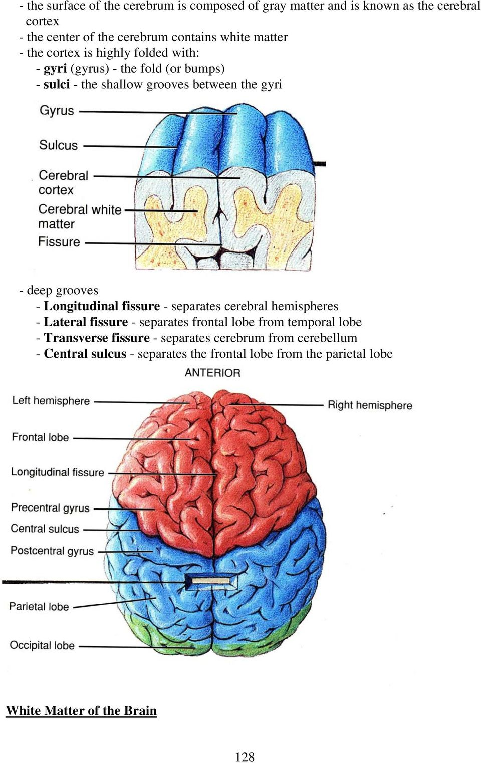 THE BRAIN AND CRANIAL NERVES - PDF