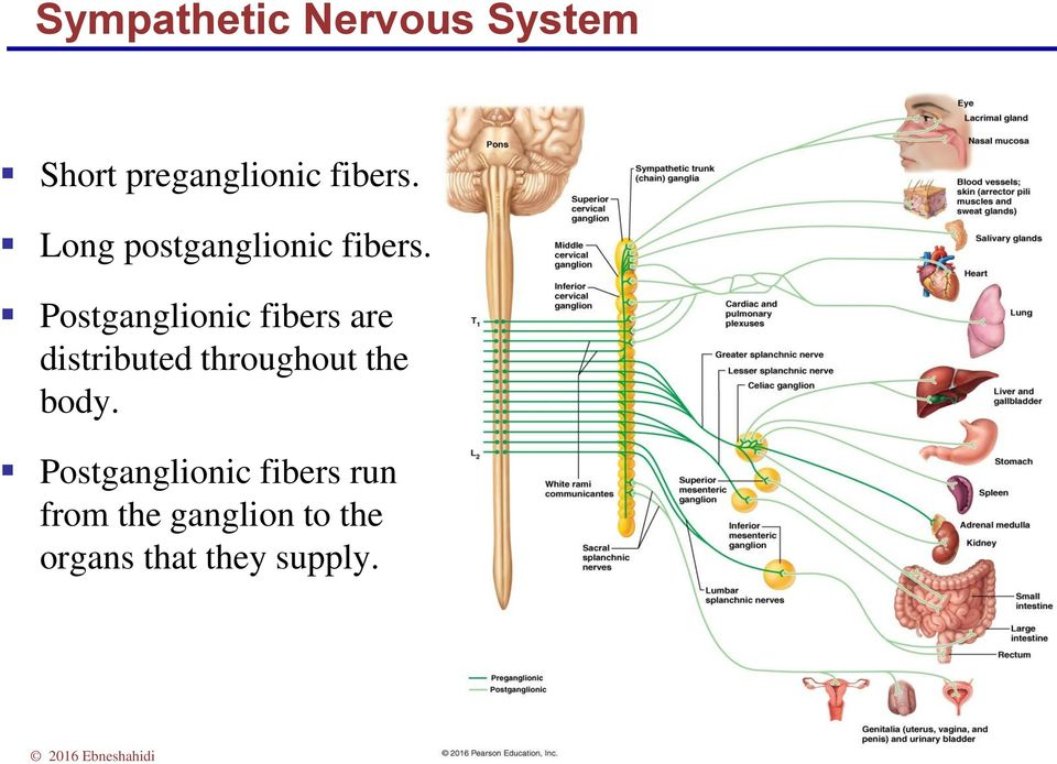 Postganglionic fibers are distributed throughout the