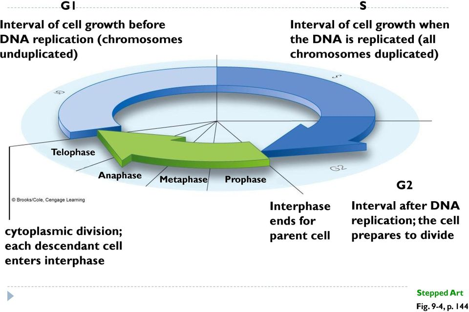 Prophase G2 cytoplasmic division; each descendant cell enters interphase Interphase ends for