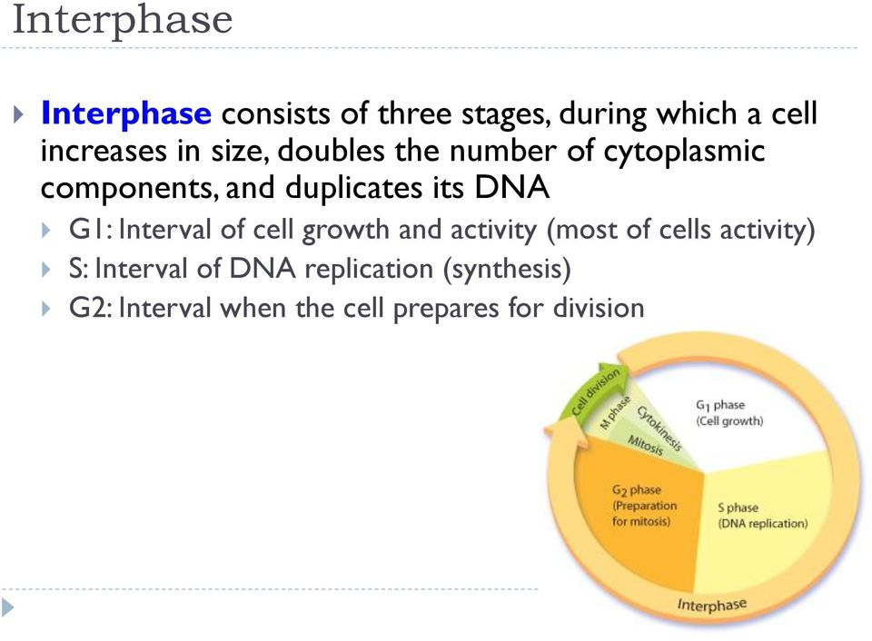 G1: Interval of cell growth and activity (most of cells activity) S: Interval