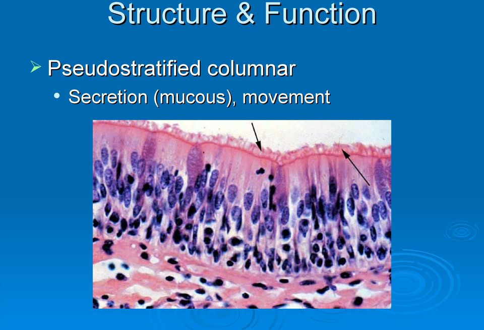 Pseudostratified