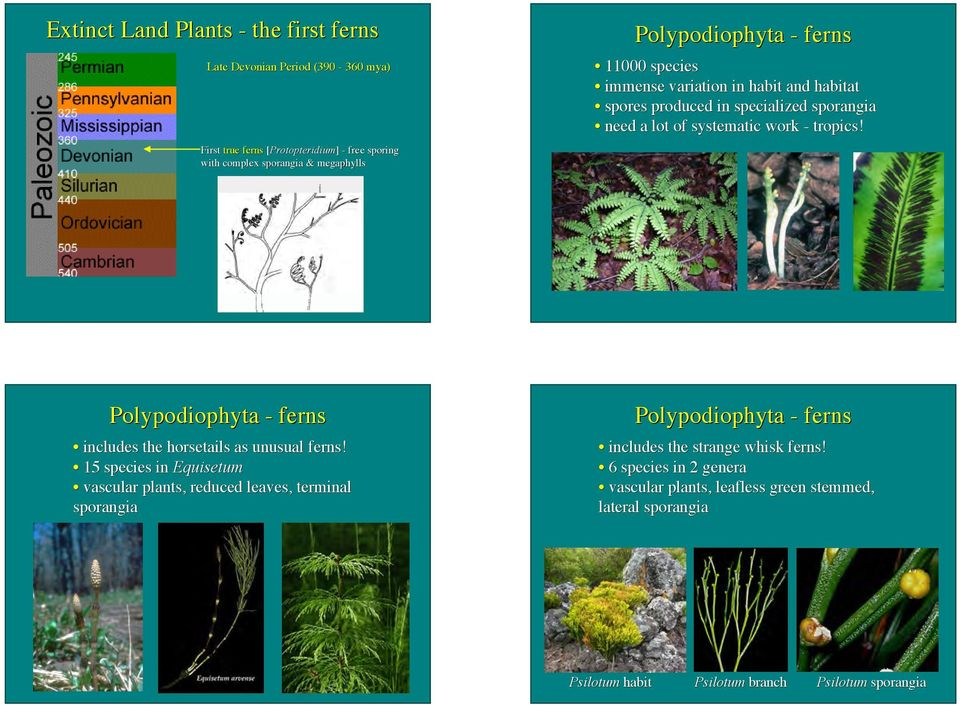 Polypodiophyta - ferns includes the horsetails as unusual ferns!