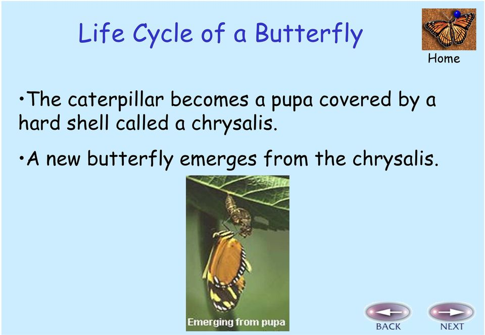 by a hard shell called a chrysalis.