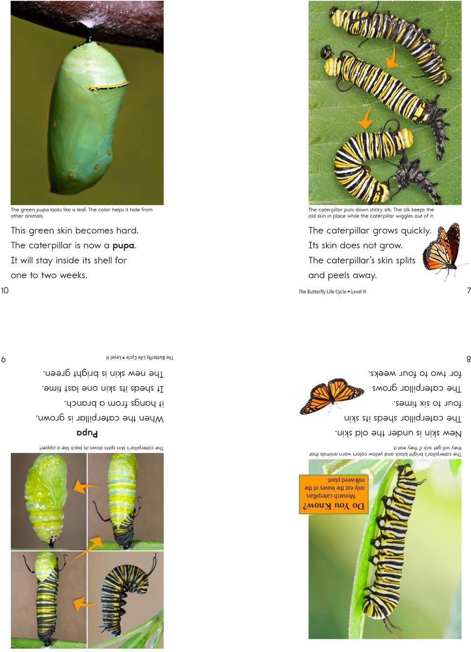 The caterpillar s skin splits and peels away. 10 10 7 7 Do You Know? Monarch caterpillars only eat the leaves of the milkweed plant.