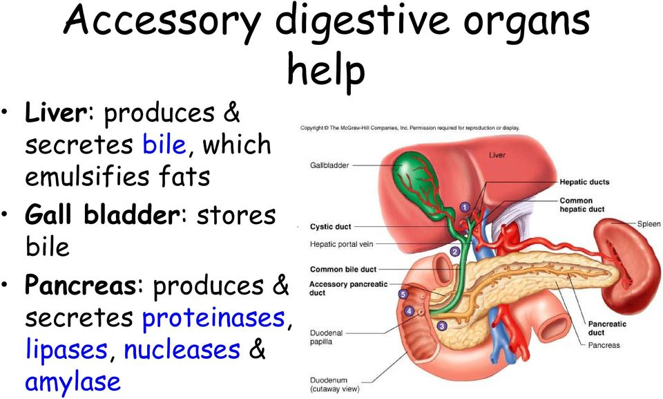 bladder: stores bile Pancreas: produces &
