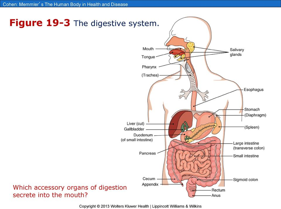 General Structure And Function Of The Digestive System PDF