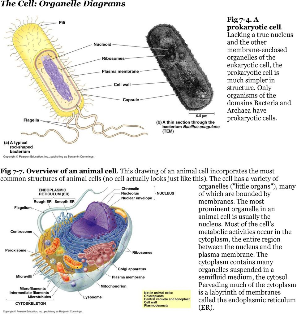 The Cell Organelle Diagrams Pdf Organelles With Diagram 4 This Drawing Of An Animal Incorporates Most Common Structures Cells No