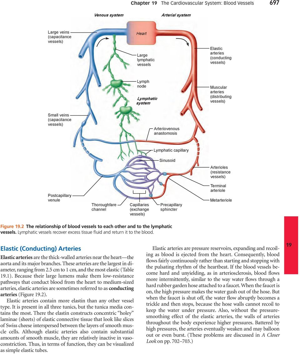 Thoroughfare channel Capillaries (exchange vessels) Precapillary sphincter Terminal arteriole Metarteriole Figure.2 The relationship of blood vessels to each other and to the lymphatic vessels.