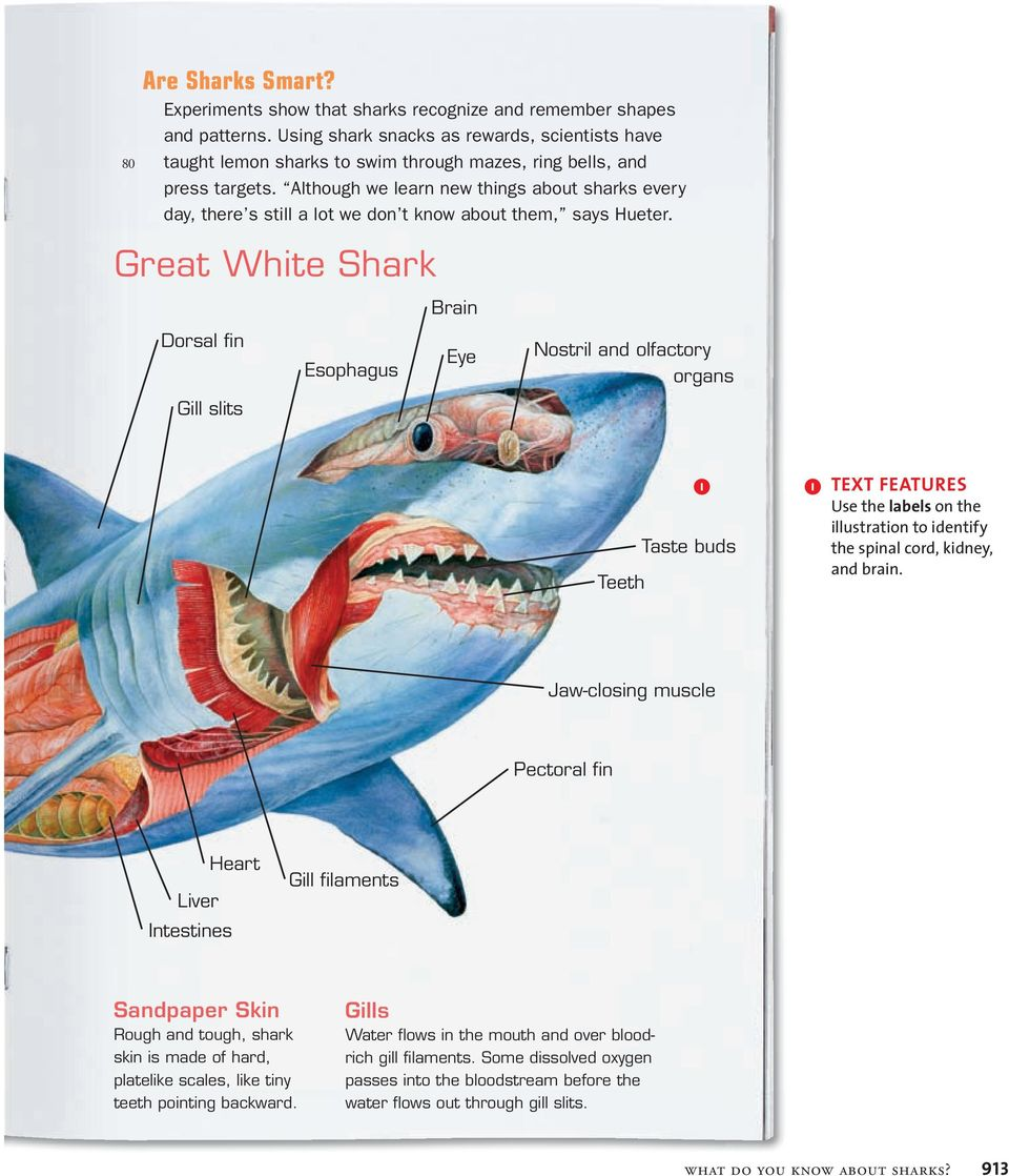 What Do You Know About Sharks Magazine Article By Sharon Guynup