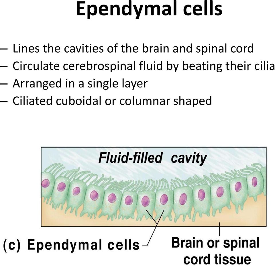cerebrospinal fluid by beating their cilia