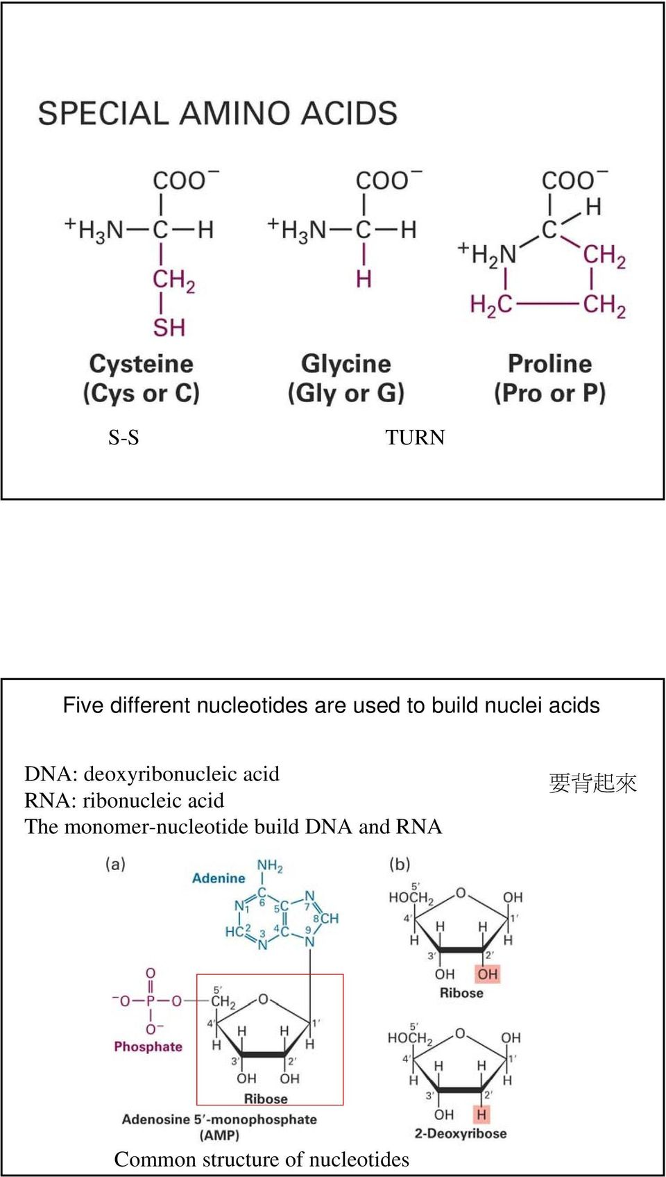 RNA: ribonucleic acid The monomer-nucleotide