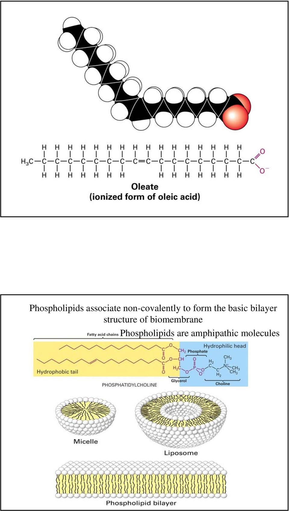 bilayer structure of biomembrane