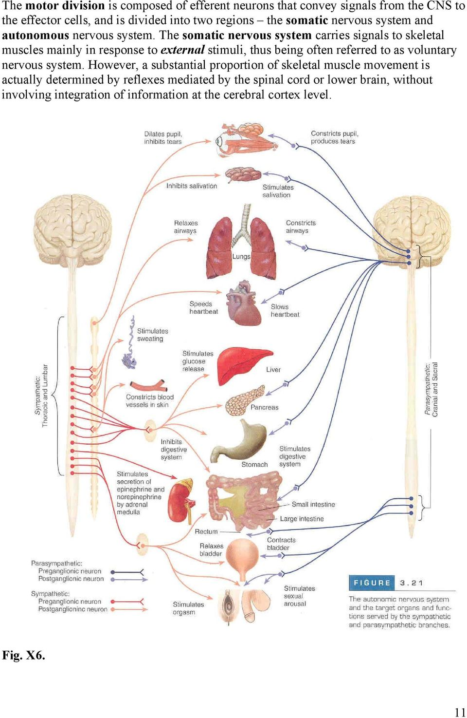 The somatic nervous system carries signals to skeletal muscles mainly in response to external stimuli, thus being often referred to as voluntary