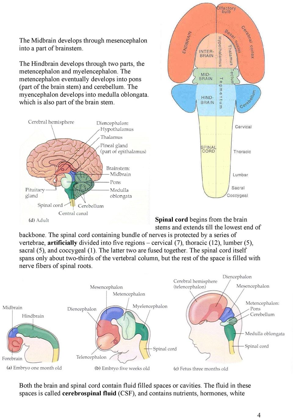 Spinal cord begins from the brain stems and extends till the lowest end of backbone.