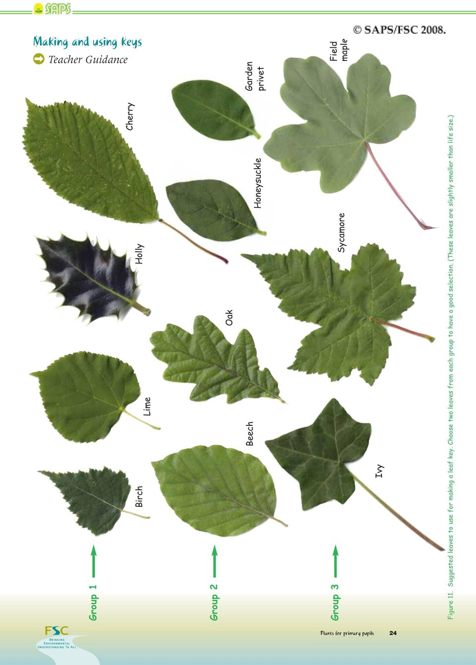 Suggested leaves to use for making a leaf key.