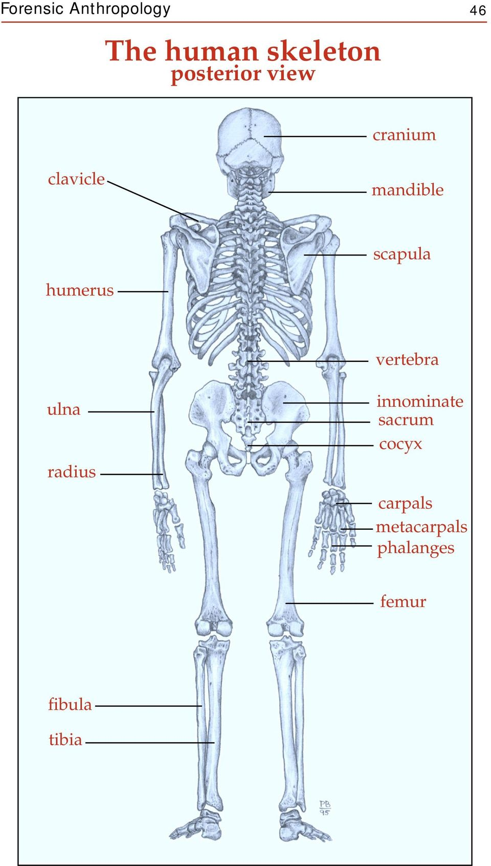 The Human Skeleton Anterior View Pdf