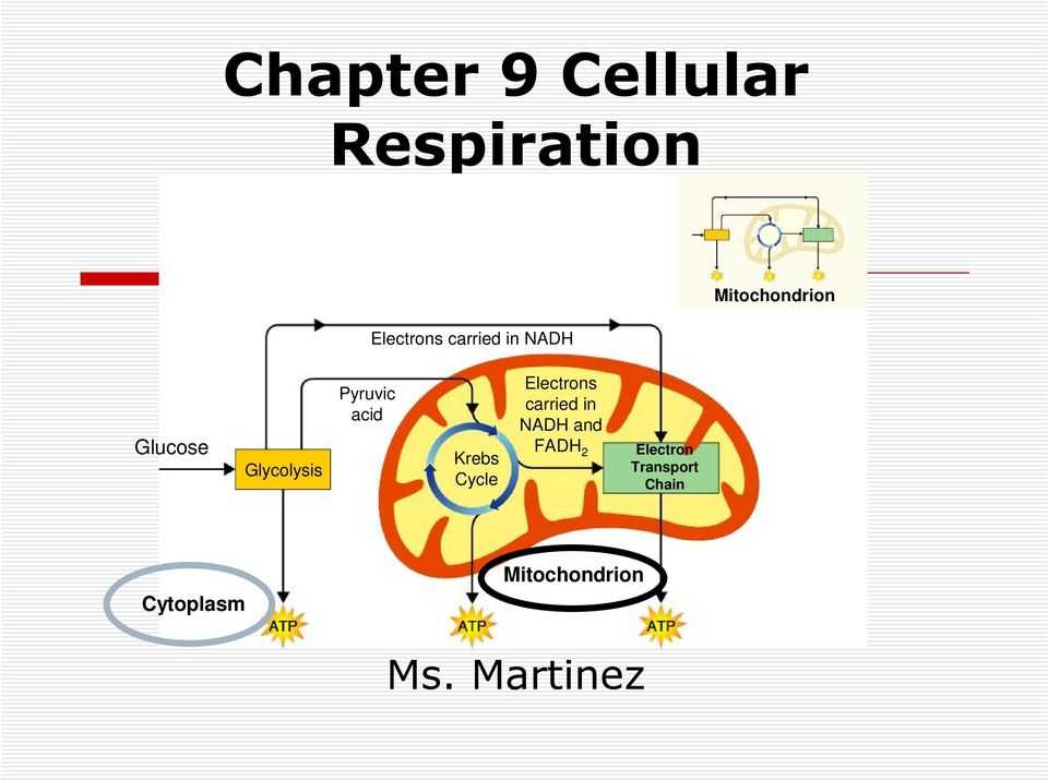 Chapter 9 Cellular Respiration - PDF Free Download
