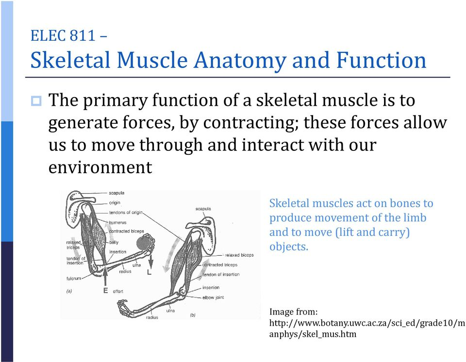 ELEC 811 Skeletal Muscle Anatomy and Function. Skeletal muscles act ...