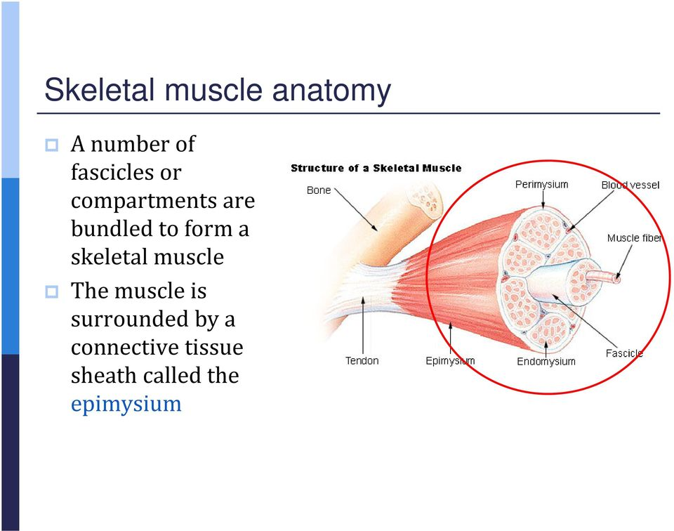 Elec 811 Skeletal Muscle Anatomy And Function Skeletal Muscles Act