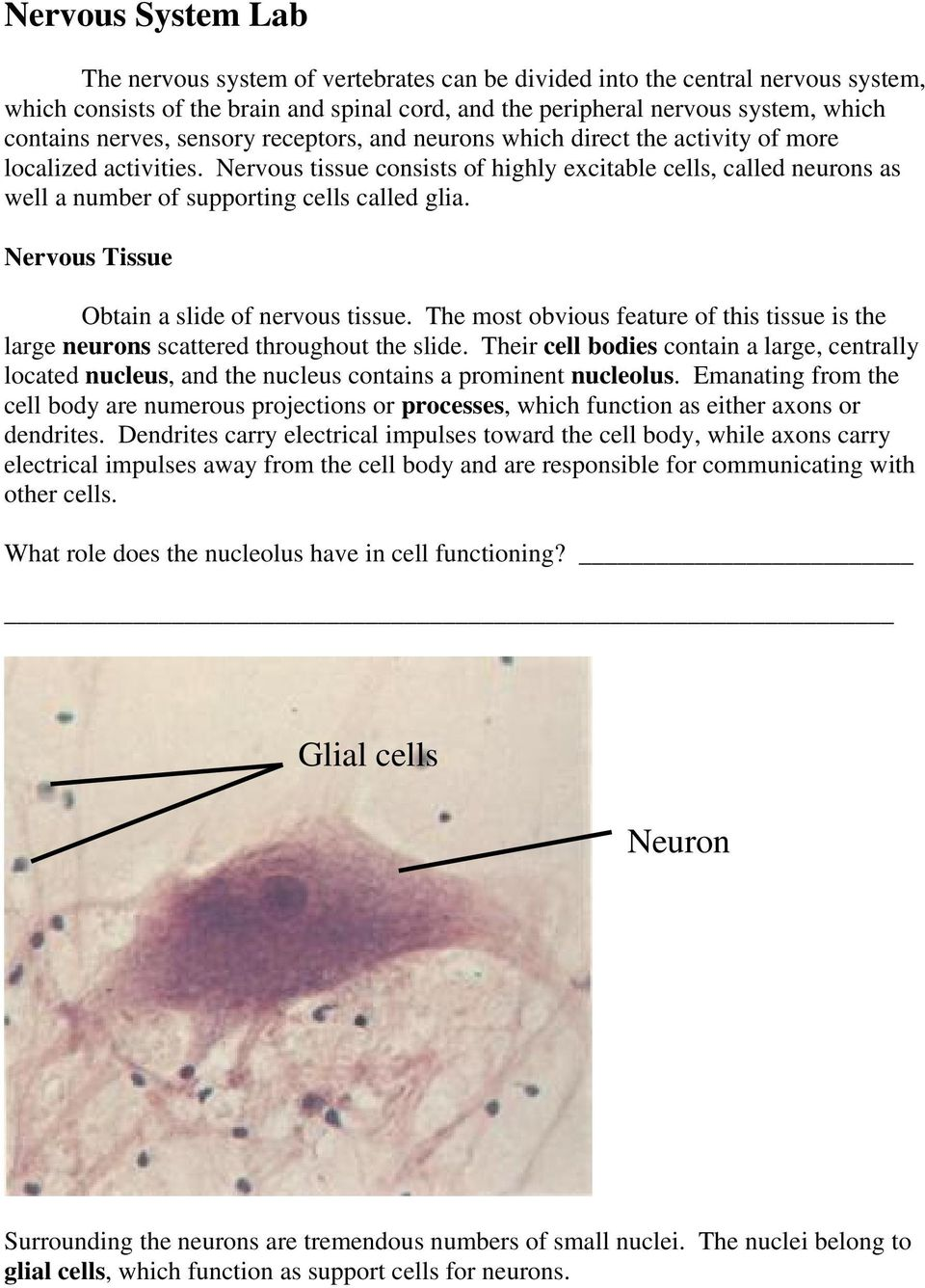 Nervous tissue consists of highly excitable cells, called neurons as well a number of supporting cells called glia. Nervous Tissue Obtain a slide of nervous tissue.