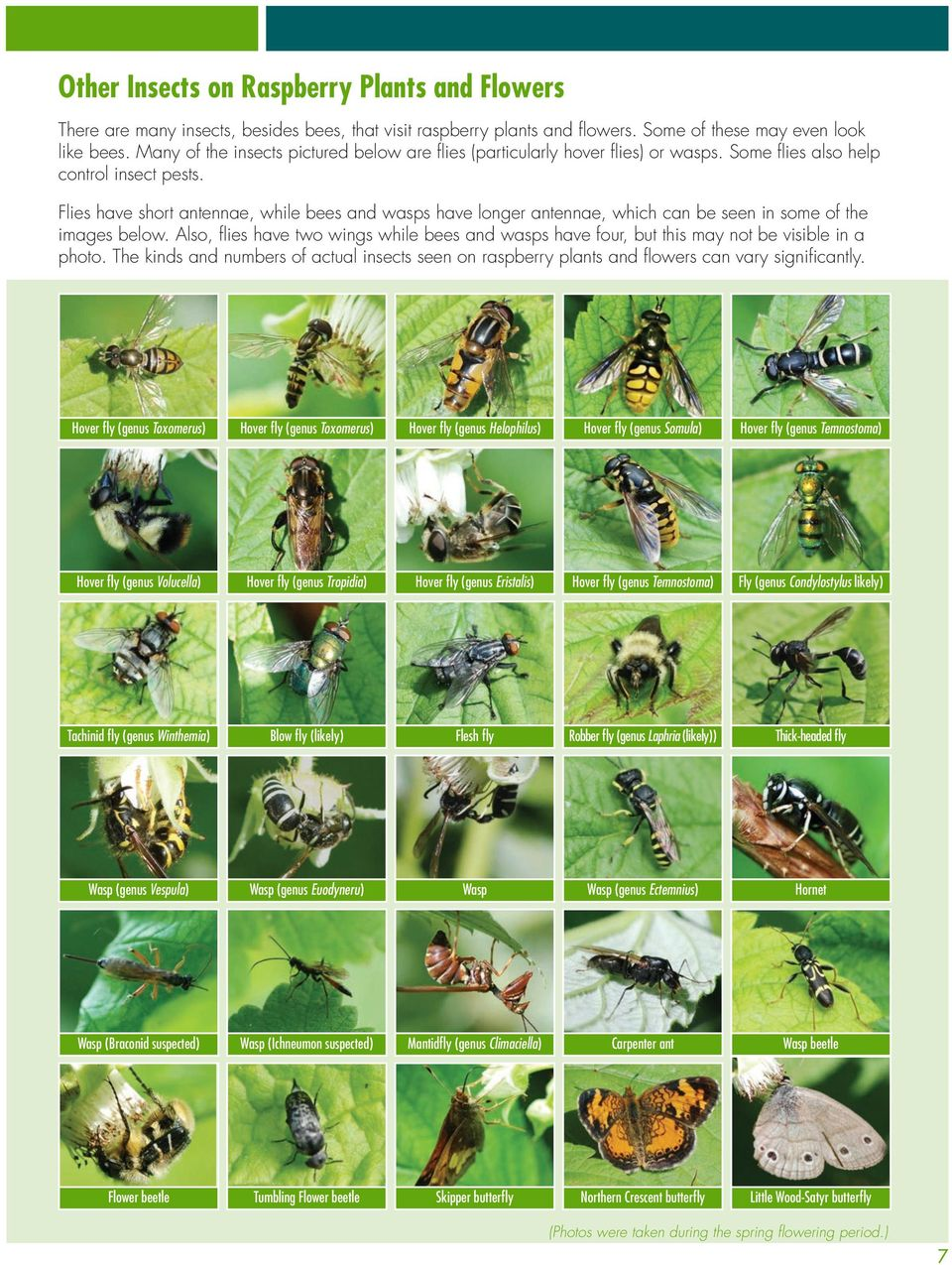 Flies have short antennae, while bees and wasps have longer antennae, which can be seen in some of the images below.