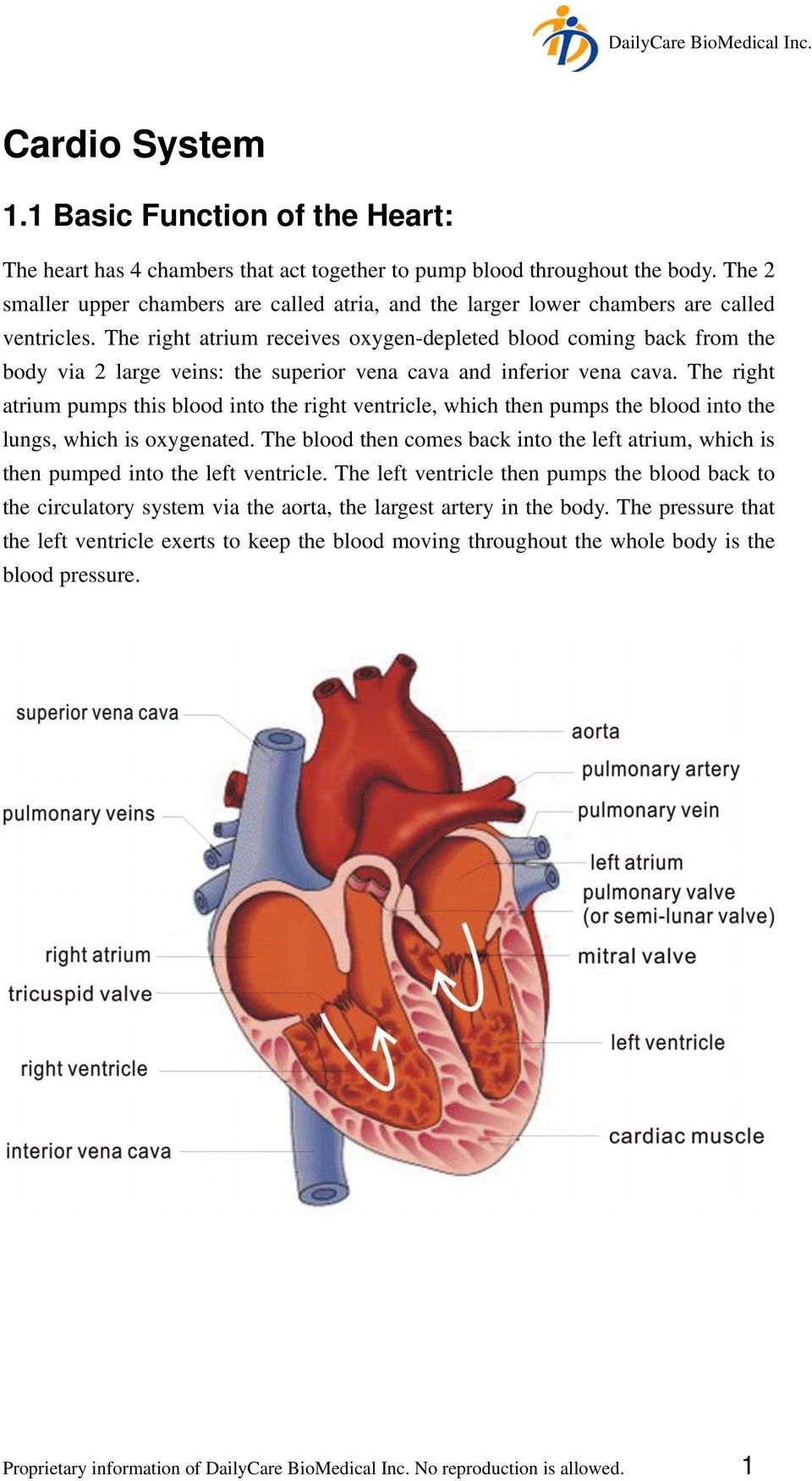 The right atrium receives oxygen-depleted blood coming back from the body via 2 large veins: the superior vena cava and inferior vena cava.
