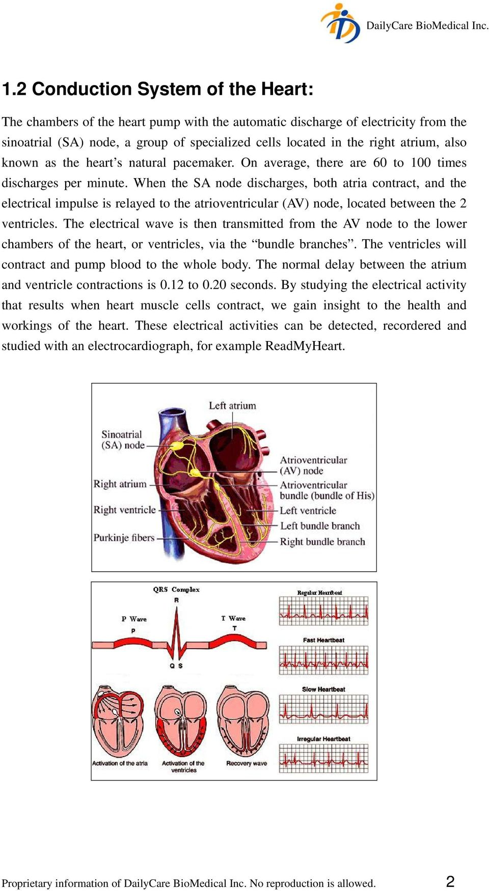 When the SA node discharges, both atria contract, and the electrical impulse is relayed to the atrioventricular (AV) node, located between the 2 ventricles.