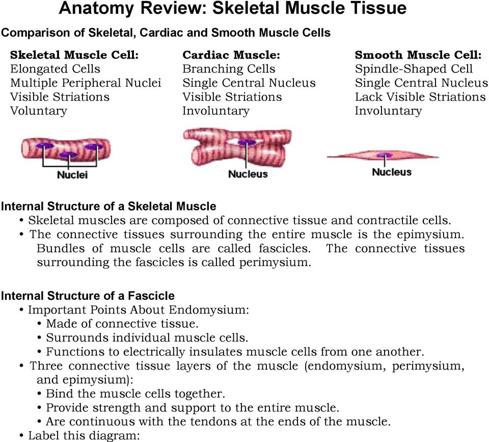 Chapter 10 Muscle Tissue 1 What Are The Functions Of Skeletal