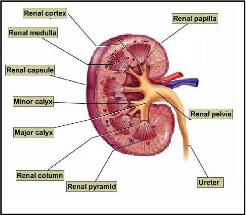 Urinary System and Kidney Structure - PDF
