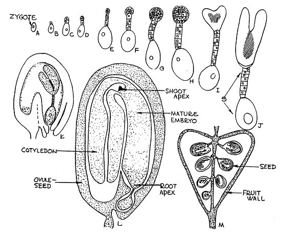 Unit 7 Angiosperms 2 Embryogenesis Seeds And Fruits