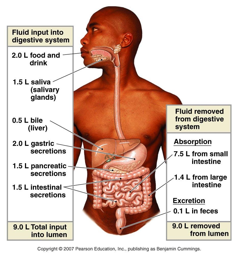 Ch 21: Digestion. 4 major processes of digestive system: 1. Motility ...