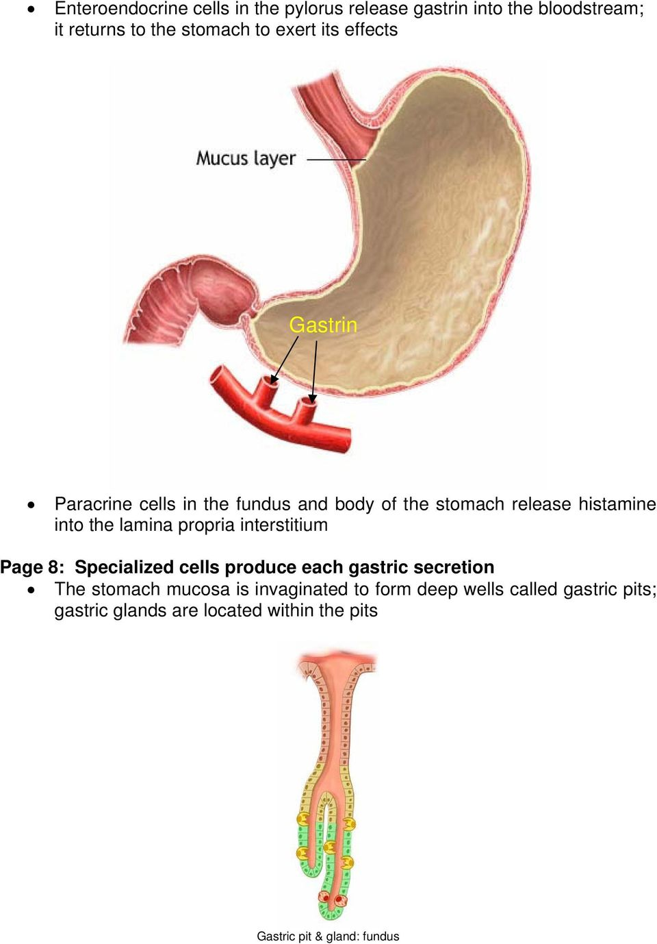 propria interstitium Page 8: Specialized cells produce each gastric secretion The stomach mucosa is
