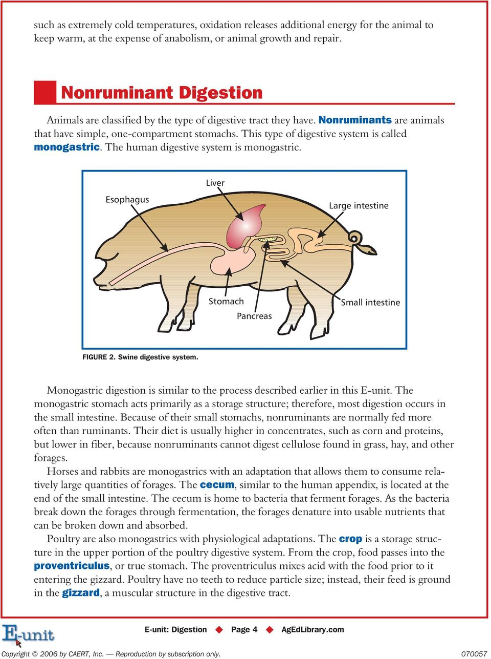 This type of digestive system is called monogastric. The human digestive system is monogastric. Esophagus Liver Large intestine Stomach Pancreas Small intestine FIGURE 2. Swine digestive system.