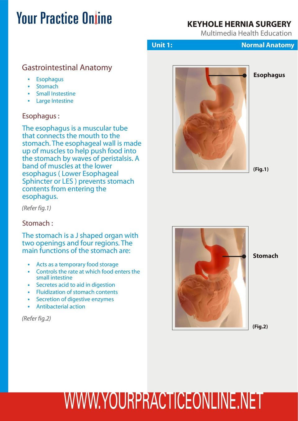 A band of muscles at the lower esophagus ( Lower Esophageal Sphincter or LES ) prevents stomach contents from entering the esophagus. (Refer fig.