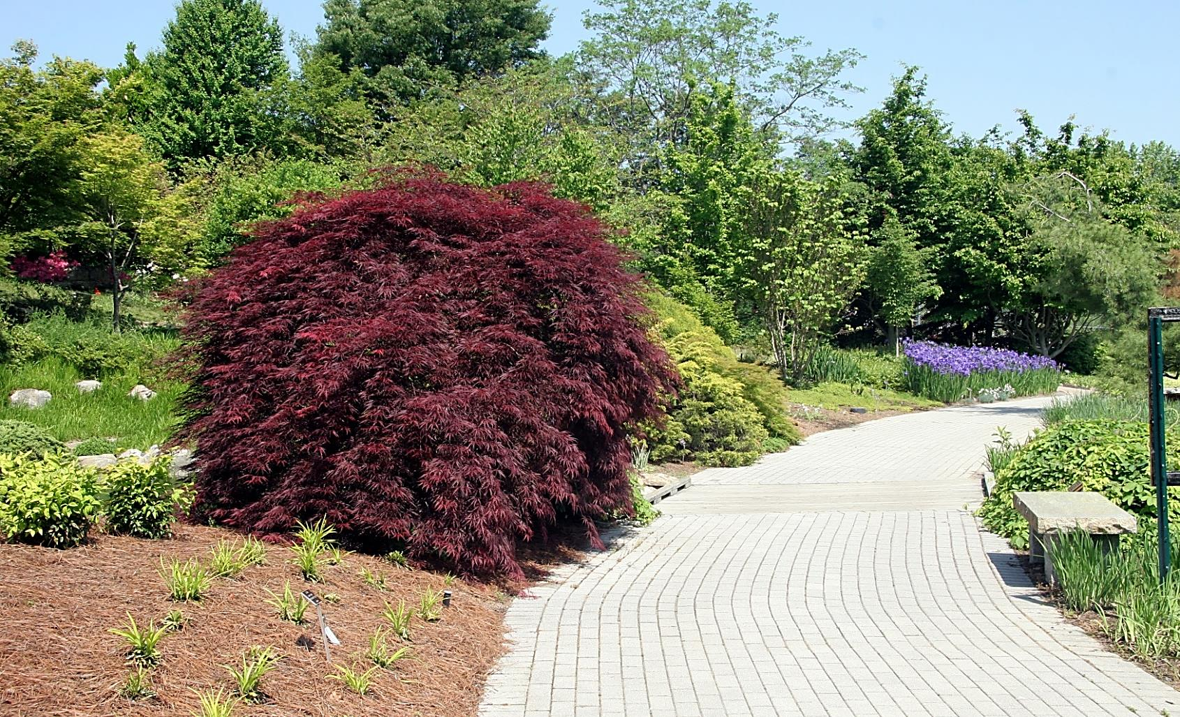 Acer palmatum Japanese Maple Purple foliage color can be difficult to incorporate in the landscape, because we expect