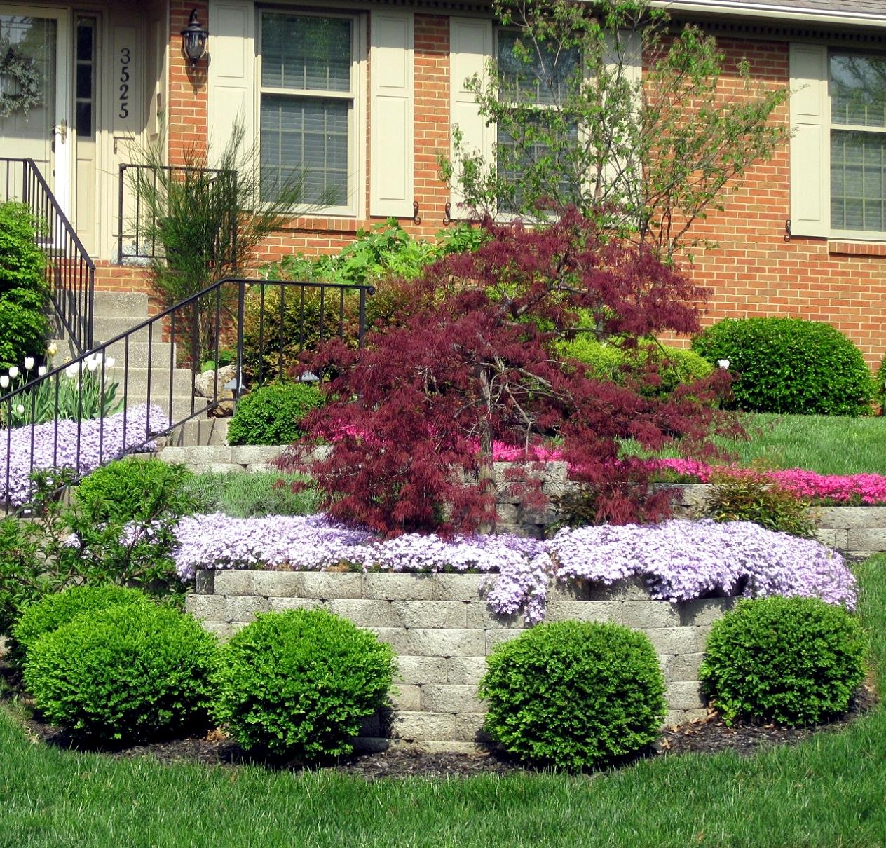 Acer palmatum Japanese Maple Uses: The slow growth and small size of