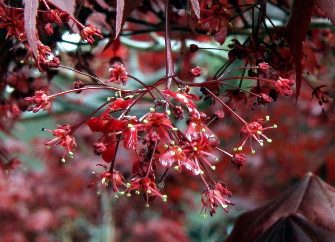 Acer palmatum Japanese Maple Flowers - Small reddish-purple flowers appear in arching corymbs in the