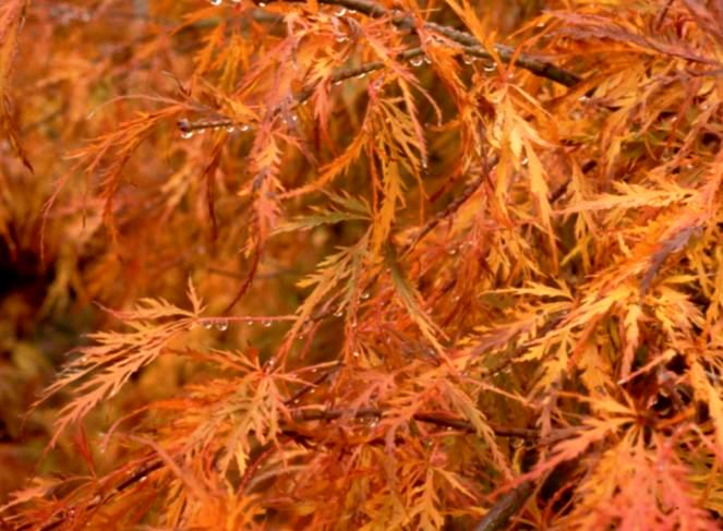 Acer palmatum Japanese Maple Leaf - One of the great attributes of Japanese